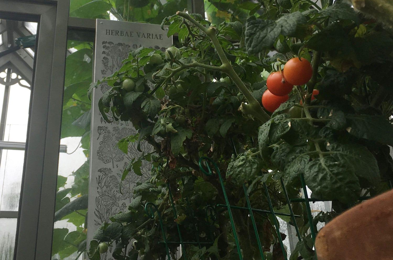 Второй урожай помидоров в английской теплице